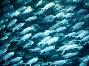School of white fish 'race to the top'